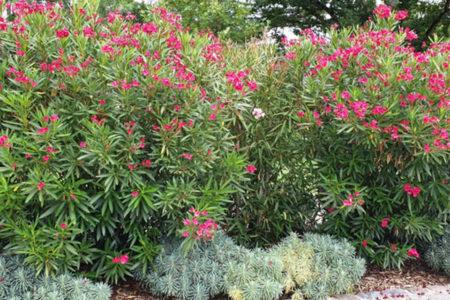 Laurier-rose fleuri
