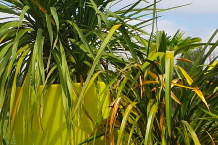 yuccas espèces de plantes